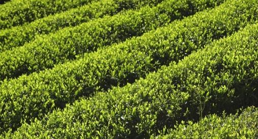 緑茶のカテキンとダイエット2