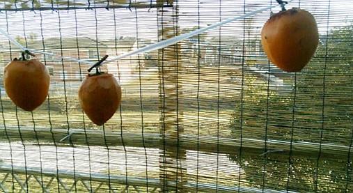 しぶ柿で甘~い干し柿を作ろう!?おうちで簡単つるし柿のレシピ!4