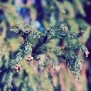 2017年花粉症のピーク時期|ヨーグルトで辛い鼻水・目のかゆみを予防しよう!