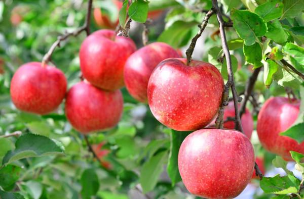 りんごの種類と栄養・健康効果|ペクチン・プロシアニジン・カリウムなど