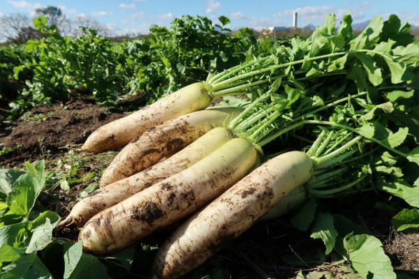 大根の栄養成分と健康効果・効能|ジアスターゼ・カリウム・カルシウム・食物繊維ほか