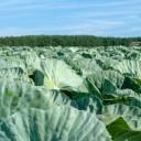 キャベツの栄養成分と健康効果・効能|ビタミンC・U・K、葉酸・食物繊維など
