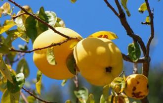 かりん(花梨)の栄養成分と健康効果・効能|サポニン・タンニン・カリウム・ビタミンC・食物繊維ほか