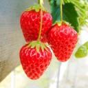いちごの栄養成分と健康効果・効能|フラボノイド・キシリトール・ビタミンC・葉酸・食物繊維など